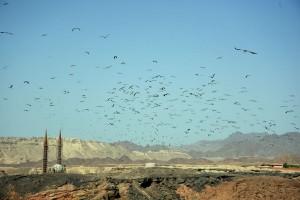Storks migration