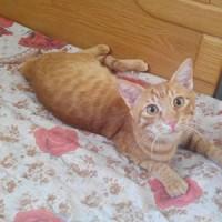 Lost  ginger cat.  Hadaba,  bask of  shaikh ab dalla market.