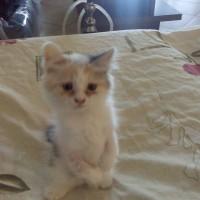 2 Persian kittens for adoption