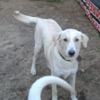 labrador max female 7 month need a good family home