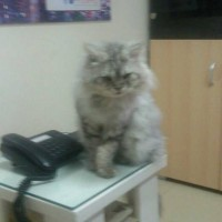 Family friendly persian cat looking for a caring home.