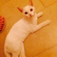 Found white young cat